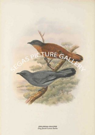 EDOLIISOMA POLIOPSE - Grey-faced Cuckoo-Shrike